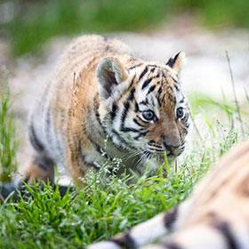Walter Zoo Tiger